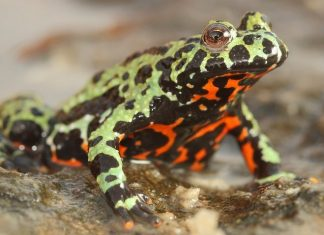 Does Fungus Kill Frogs