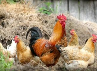 On Building a Chicken Farming Empire An Interview with Blue Star Ranch